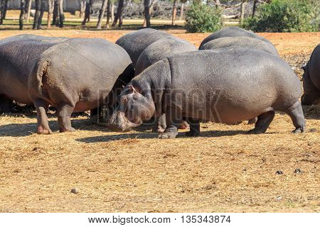 A big herd of hippos standing together