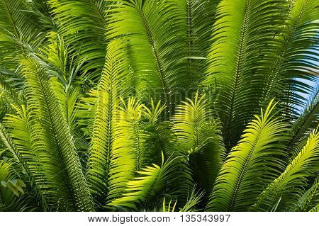 close up of backlit palm tree leaves
