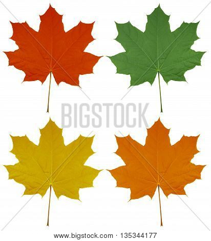 Maple Leaves - Colorful