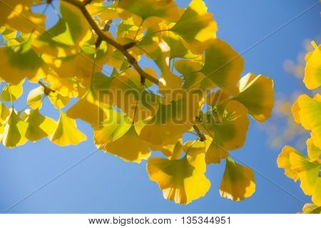 Bright yellow ginkgo leaves and blue skies bring happiness.