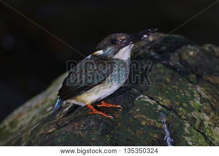Blue-banded Kingfisher Alcedo euryzona Male Birds of Thailand