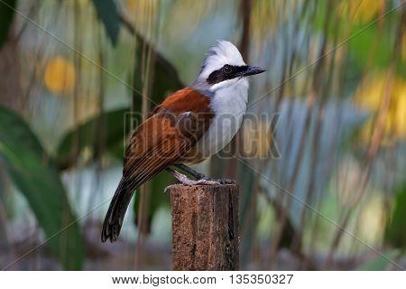 White-crested Laughingthrush Garrulax leucolophus Birds of Thailand