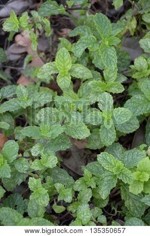 close up kitchen mint plants in nature garden