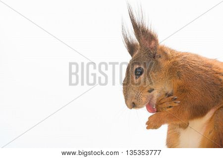 close up of red squirrel with tongue licking the feet