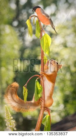 red squirrel in a branch climbing up in top male bullfinch