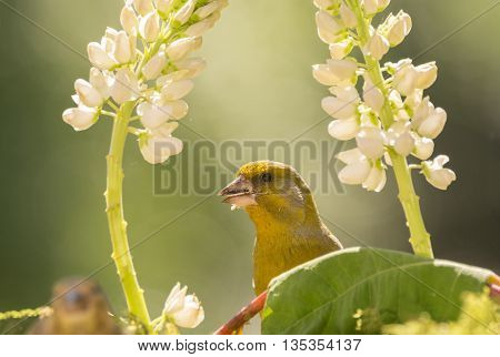 close up of green finch standing behind and between flowers and leaves