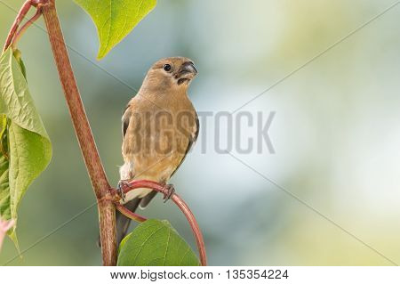 young bullfinch standing on red branch with leaves
