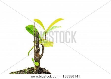 The teak growing with the dry branches on a white background.