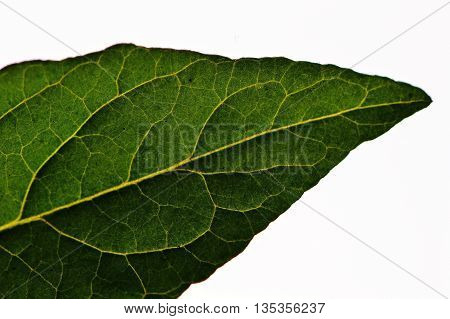a mint leaf. Used in tea. health. nature provides health