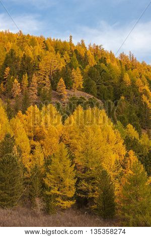 autumn hillside with conifers on a sunny day