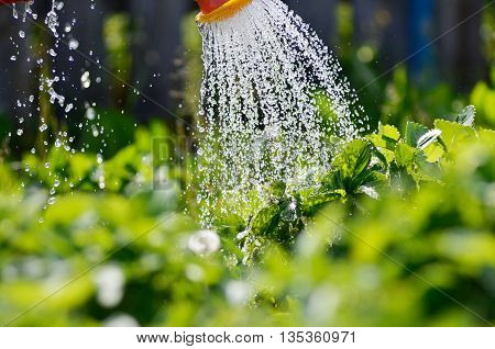 Watering the plants from a watering can. Watering agriculture and gardening concept. Watering strawberries.