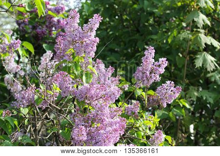 Colorful Lilacs in spring showing beautiful colors