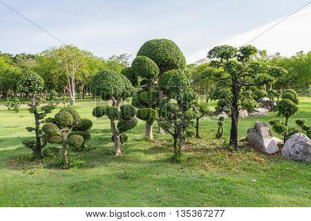 Fresh Ficus Microcarpa in the public park