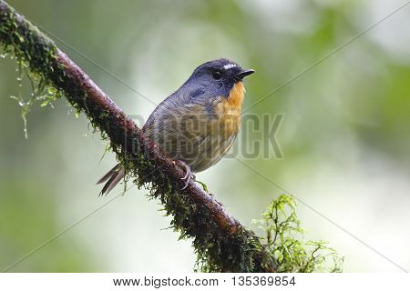 Snowy browed Flycatcher Ficedula hyperythra Male Birds of Thailand