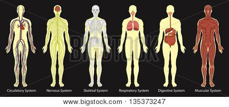 Diagram of systems in human body illustration