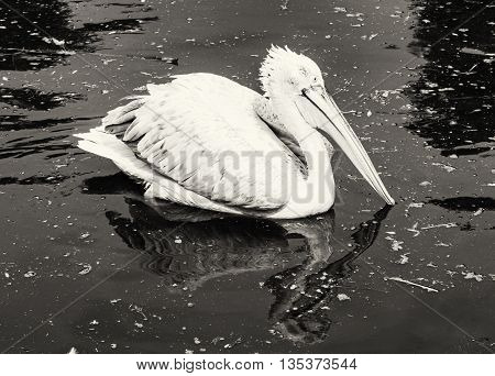 Great white pelican - Pelecanus onocrotalus - is reflected on the shimmering lake. Big bird. Animal scene. Black and white photo. Beauty in nature. Bird portrait.