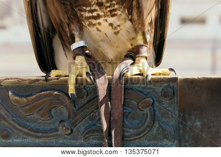 eagle legs with nails of bird with white and brown feathers outdoor closeup on iron fence