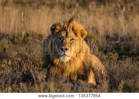 A male Lion enjoys the warmth of the sunrise on a winter morning in the African savannah