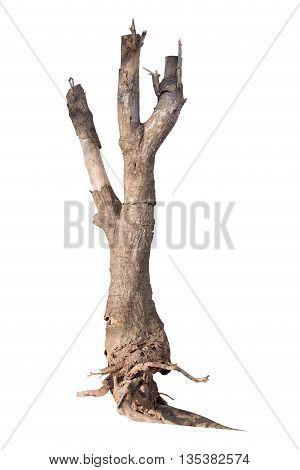 Driftwood tree stump isolate on white background