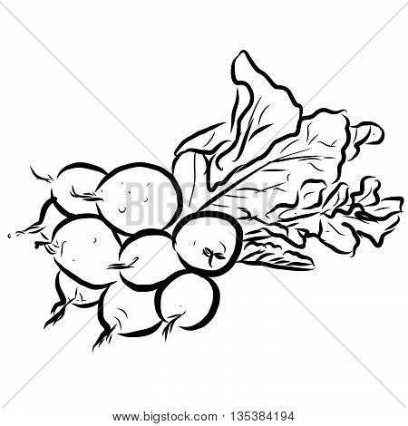 Radishes Vector Outline Sketch, Hand drawn Image