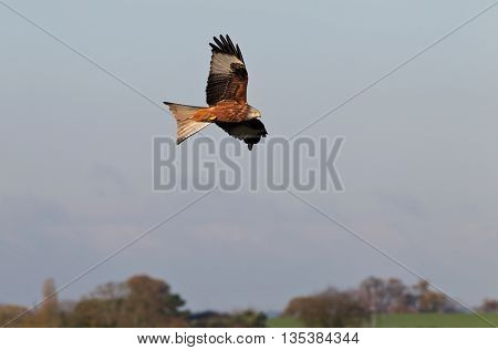 A wild Red Kite flying over a field on southern England