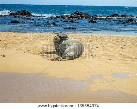 Portrait of a hawaiian monk seal sleeping on the tropical beach, Kauai, Hawaii, Usa.