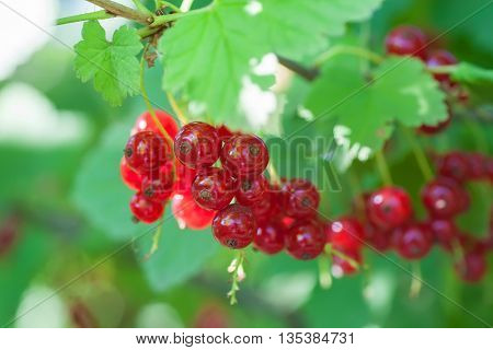 photo ripening redcurrant bunch on the branch