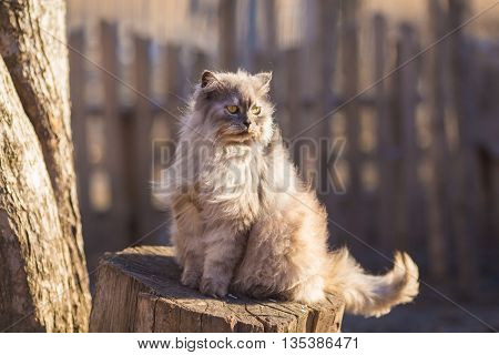 Fluffy persian cat. Close up portrait in nature