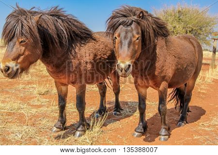 Two ponies in the Kalahari desert , Namibia on dry season.