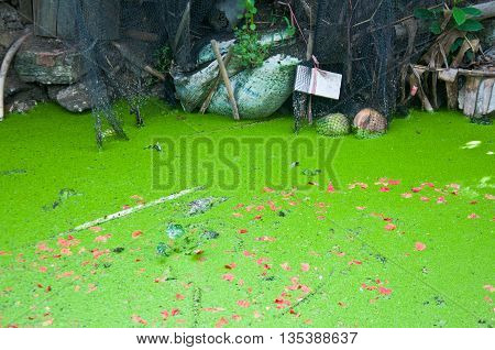 Water surface covered with a duckweed at canal