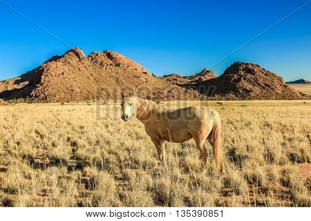Wild and majestic white horse. African savannah in southern Namibia, Africa, in the dry season.