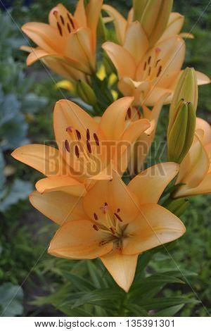 Bush orange lilies in the flower garden