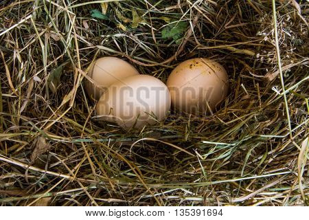 Domestic eggs in the nest of dry grass closeup