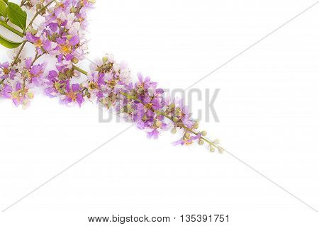Lagerstroemia floribunda,Purple flower,Cananga flower (Cananga odorata) annonaceae, Queen's Flower, on white background.