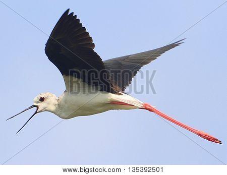 flying breeding male Black-winged Stilt near beach, Ranot, Thailand