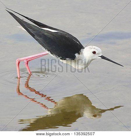 breeding male Black-winged Stilt doing a