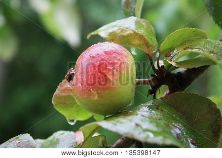 Ripe big apple with drops of rain on the apple tree. Green leaves.