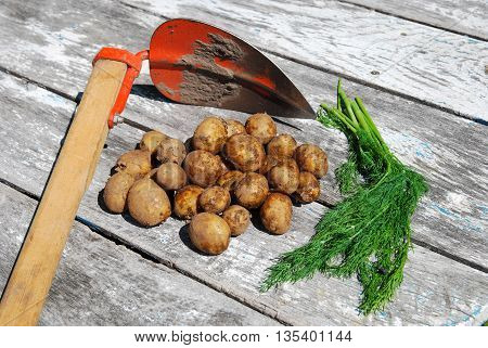 Harvested new potatoes with a pick axe and dill on a rustic surface