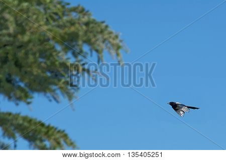 The common magpie flying toward the tree