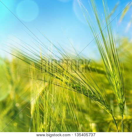 picture of young wheat as an agriculture background