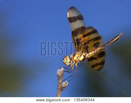 Orange dragonfly covered with eggs waiting on a stick