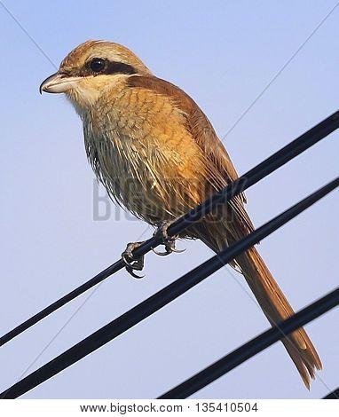 female Brown Shrike perching on power line near Songkhla, Thailand