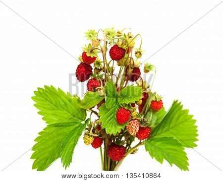 bunch of wild strawberry isolated on a white background