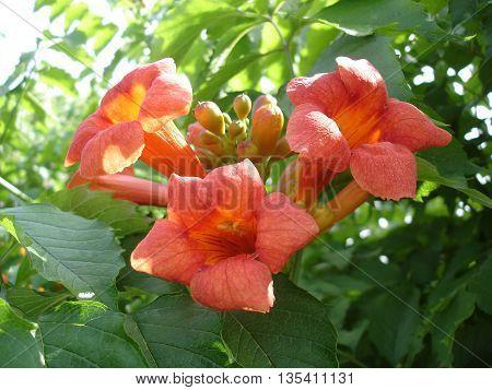 Chinese Trumpet Vine orange flowers and buds.