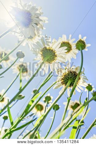 Nice chamomile in sunny summer weather up