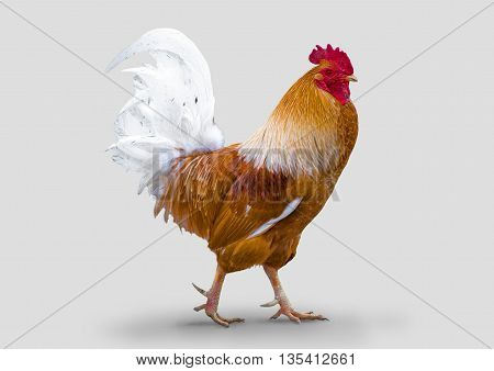 Thoroughbred farm rooster, isolated on a gray background.