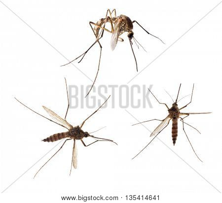 mosquito collection isolated on white background