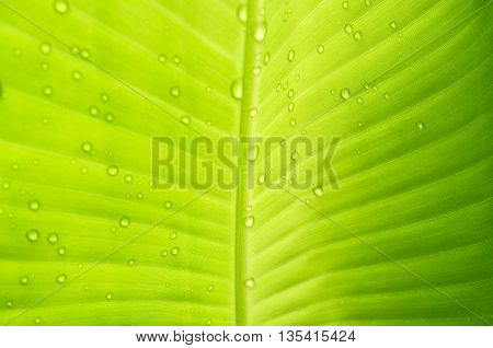 Water drops on banana leaf. Texture background of backlight green banana Leaf. abstract background.