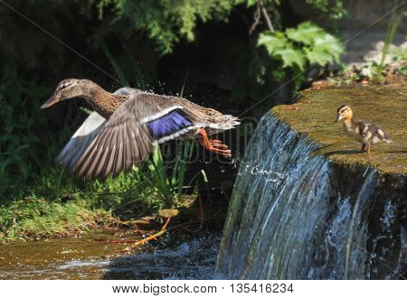 a female mallard flying and a baby duckling at the edge of a waterfall getting ready to jump into the pond below