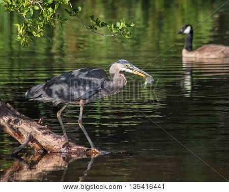 a heron in a local wildlife sanctuary park catching a fish with a canadian goose swimming  in the background